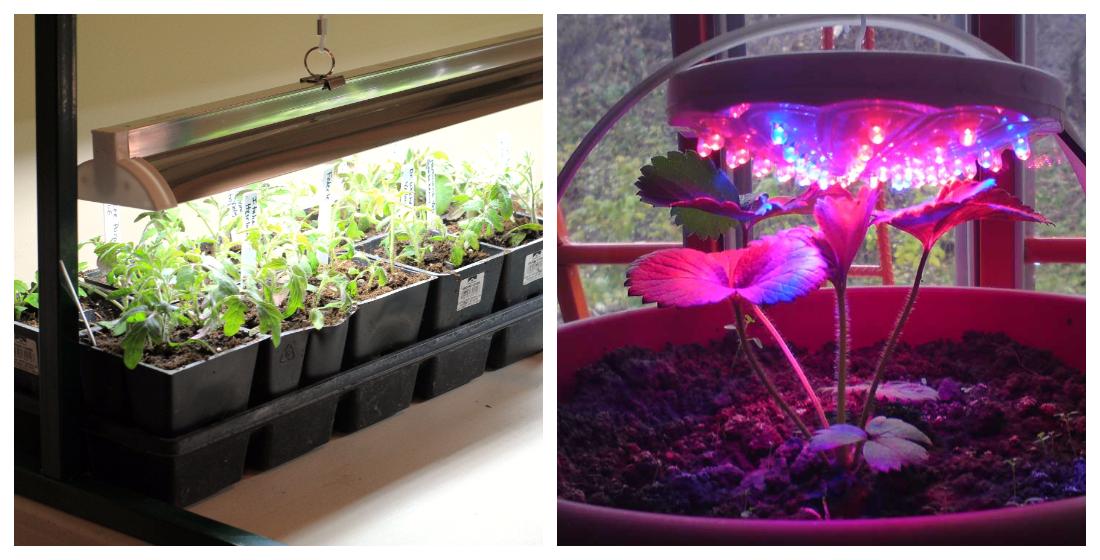 Выращивание рассады под лампой 98